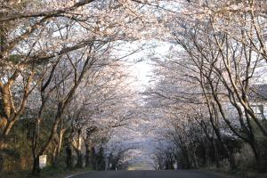 沖洲 桜トネンル
