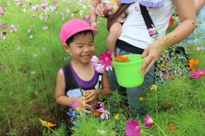 コスモスの花摘み