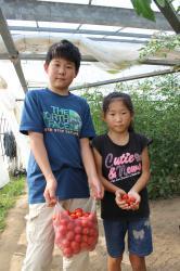 トマト摘み2