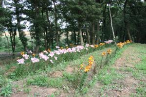 『ユリの花2』の画像