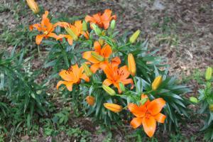 『ユリの花4』の画像