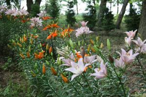『ユリの花6』の画像