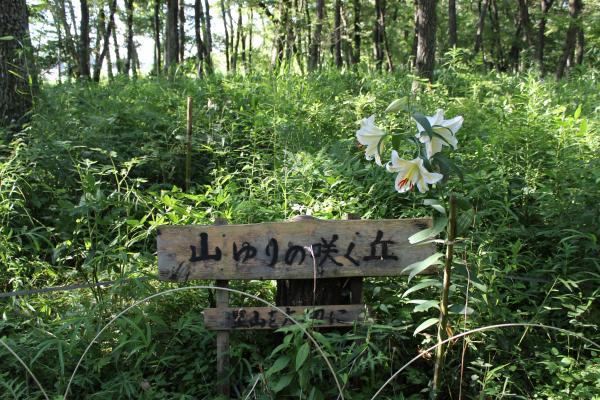 『山ゆりの咲く丘』の画像