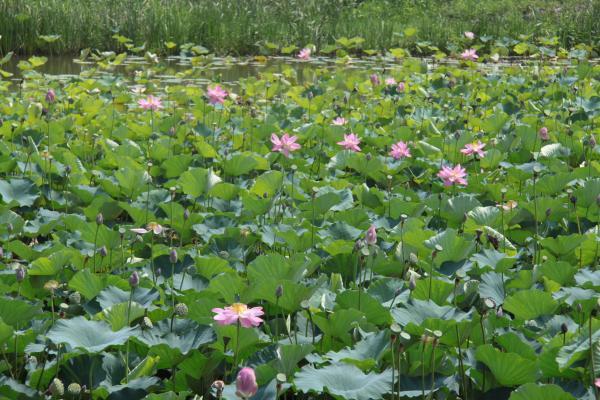 古代ハスの花5