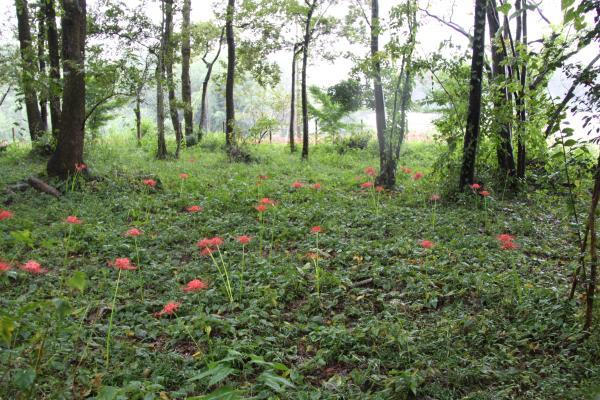 『小貫の里山ヒガンバナ2』の画像