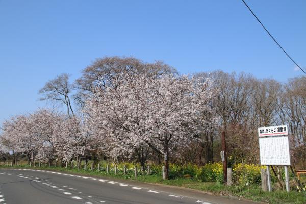 『20170414ふれあいの森の桜01』の画像