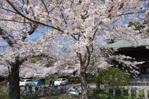 『桜6』の画像