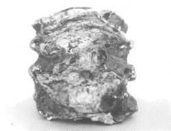 トロゴンテリーゾウ